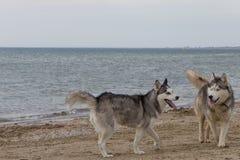 Paar die van schor honden op kust spelen Stock Foto