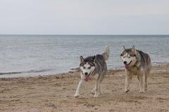 Paar die van schor honden op kust spelen Royalty-vrije Stock Fotografie