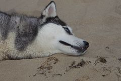 Paar die van schor honden op kust spelen Royalty-vrije Stock Afbeelding