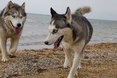 Paar die van schor honden op kust spelen Stock Fotografie