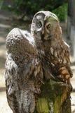 Paar die van uilen in de dierentuin leven Stock Foto