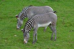 Paar die van Zebras Gras op een Gebied eten Stock Foto's