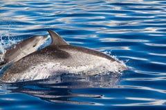 Paar Dolfijnen Stock Foto