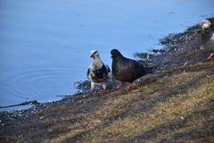 Paar duiven - jonggehuwden stock afbeeldingen