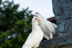 Paar duiven met liefde Stock Fotografie