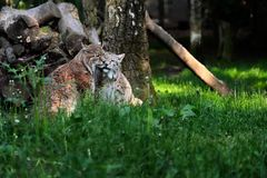 Paar eurasian lynxes in the forest. Portrait of paar eurasian lynxes in the forest. Photography of wildlife Stock Photo
