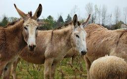 Paar ezels Royalty-vrije Stock Foto