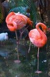 Paar Flamingo's royalty-vrije stock afbeelding