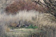Paar Ganzen die een Vreedzaam Ogenblik in Lang Marsh Grass vinden Royalty-vrije Stock Foto