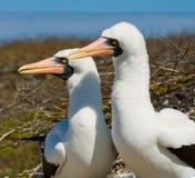Paar Gemaskeerde Witte domoren die op de rotsen zitten De eilanden van de Galapagos vogels ecuador Royalty-vrije Stock Afbeelding