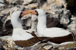 Paar Gemaskeerde Witte domoren die op de rotsen zitten De eilanden van de Galapagos vogels ecuador Stock Afbeelding