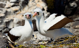 Paar Gemaskeerde Witte domoren die op de rotsen zitten De eilanden van de Galapagos vogels ecuador Stock Fotografie