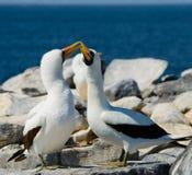 Paar Gemaskeerde Witte domoren die op de rotsen zitten De eilanden van de Galapagos vogels ecuador Royalty-vrije Stock Foto's