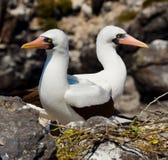Paar Gemaskeerde Witte domoren die op de rotsen zitten De eilanden van de Galapagos vogels ecuador Stock Foto