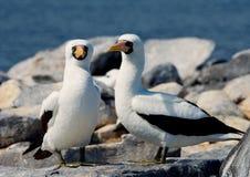 Paar Gemaskeerde Witte domoren die op de rotsen zitten De eilanden van de Galapagos vogels ecuador Royalty-vrije Stock Afbeeldingen