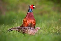 Paar gemeenschappelijke fazanten, phasianuscolchicus in de lente royalty-vrije stock foto