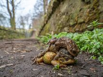 Paar gemeenschappelijke kikkers, Rana-temporaria, met mannelijke gemeenschappelijke pad, Bufo-bufo De lente, Schotland stock fotografie