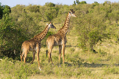 Paar Giraffen Royalty-vrije Stock Foto