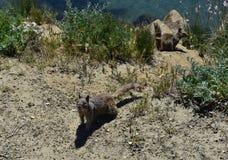 Paar Grondeekhoorns bij Morro-Baai in Californië stock afbeeldingen