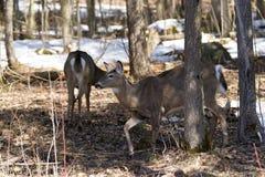 Paar herten in het Provinciale Park van Awenda Royalty-vrije Stock Foto