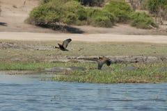 paar het Egyptische ganzen vliegen Stock Fotografie