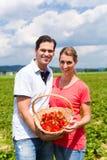 Paar het plukken aardbeien zelf op een gebied royalty-vrije stock foto