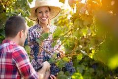 Paar het plukken wijnstokken stock foto