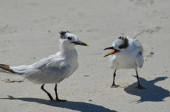 Paar het Vechten Sternen op het Strand in Florida Stock Fotografie