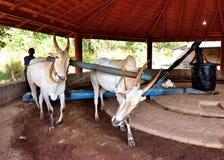 Paar het werk Ossen in India Stock Foto's