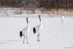 Paar Japanse Kranen die op Sneeuw streven naar stock fotografie