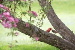 Paar Kardinalen Stock Foto's