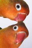 Paar kleine papegaaien Stock Afbeelding