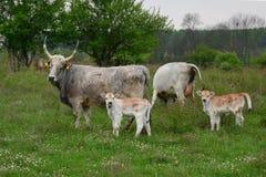 Paar koeien en kalveren Royalty-vrije Stock Afbeeldingen
