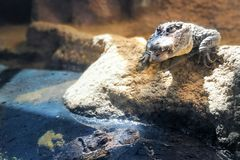 Paar-Krokodil lizenzfreies stockbild