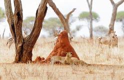 Paar leeuwinnen die in de schaduw door een termiethoop rusten Royalty-vrije Stock Foto's