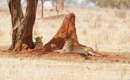Paar leeuwinnen die in de schaduw door een termiethoop rusten Royalty-vrije Stock Afbeeldingen