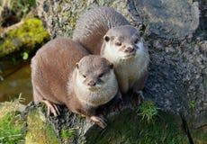 Paar leuke Otters die dicht bij elkaar zitten stock foto's