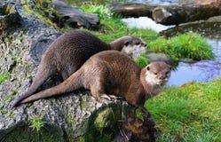 Paar leuke Otters die samen dichtbij water zitten royalty-vrije stock afbeeldingen
