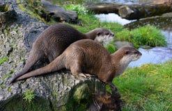 Paar leuke Otters die samen dichtbij water zitten royalty-vrije stock fotografie