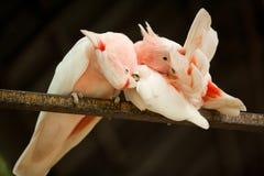 Paar Major Mitchell-papegaaien Royalty-vrije Stock Afbeelding