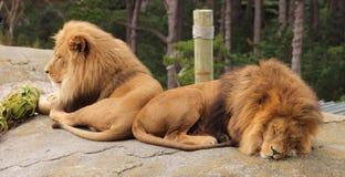 Paar Mannelijke Leeuwen Stock Foto's