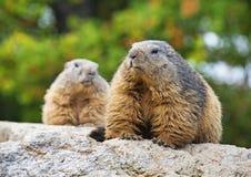 Paar marmotten Royalty-vrije Stock Afbeelding