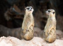 Paar meerkat Royalty-vrije Stock Afbeelding