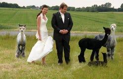 Paar met alpacas stock foto's
