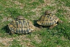 Paar met jonge schildpadden Stock Afbeeldingen
