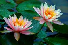 Paar mooie roze die waterlelies in dauwdalingen worden behandeld na zware regen stock foto's