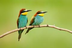 Paar mooie vogels Europese bij-Eters die, Merops apiaster, op de tak met groene achtergrond zitten Twee vogels in Na van Roemenië royalty-vrije stock afbeeldingen