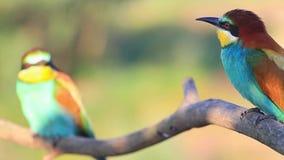 Paar mooie wilde vogels in de zomerdag stock footage
