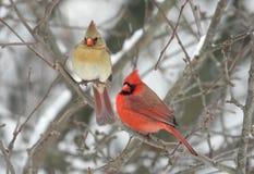 Paar Noordelijke Kardinalen Royalty-vrije Stock Fotografie