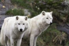 Paar Noordpoolwolven in een daling, bosmilieu Royalty-vrije Stock Afbeeldingen